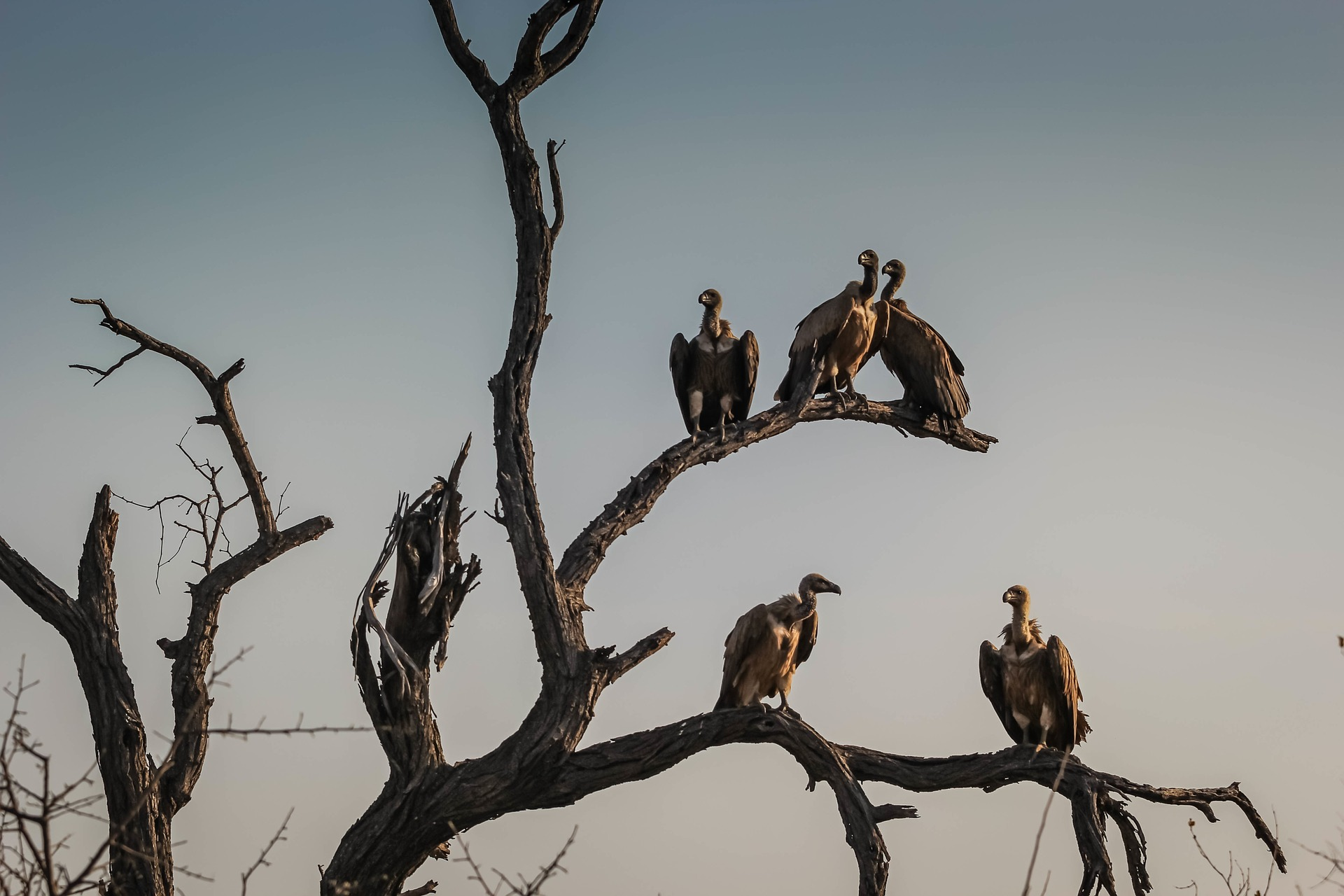 Image of vultures on a tree
